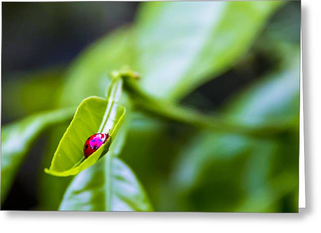Ladybugs Greeting Cards - Ladybug Cup Greeting Card by Marvin Spates