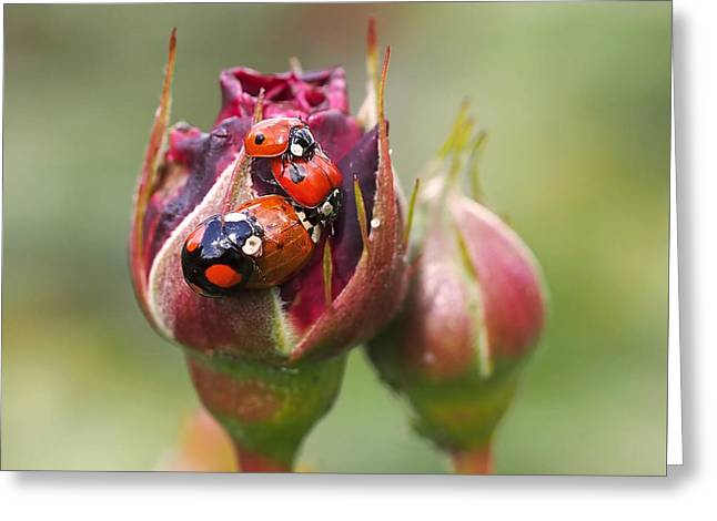 Red Rose Greeting Cards - Ladybug Foursome Greeting Card by Rona Black