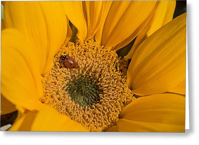 Ladybug In Sunflower Greeting Card by Garry Gay