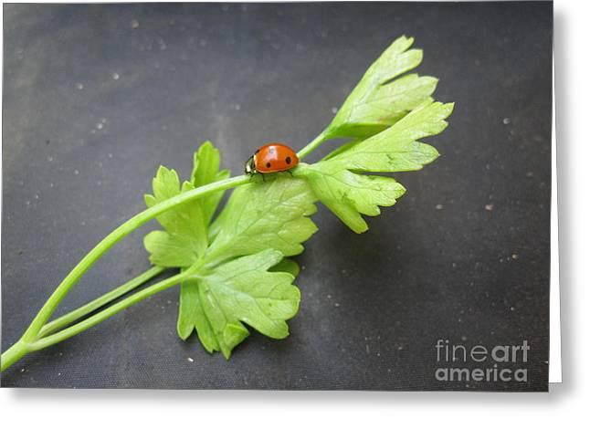 Red Photographs Drawings Greeting Cards - Ladybug on a Parsley Stalk 2 Greeting Card by Tara  Shalton