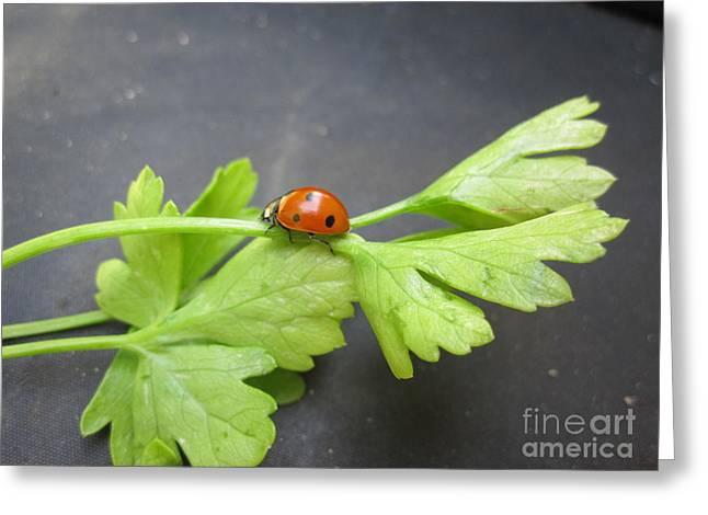 Red Photographs Drawings Greeting Cards - Ladybug on a Parsley Stalk 3 Greeting Card by Tara  Shalton