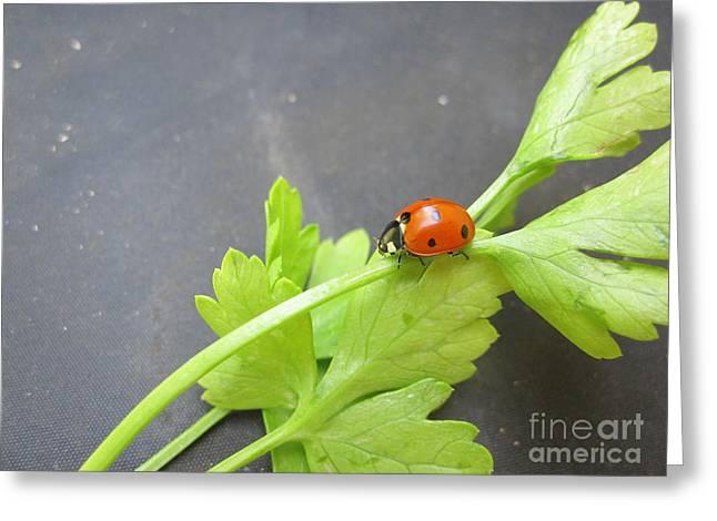 Red Photographs Drawings Greeting Cards - Ladybug on a Parsley Stalk 4 Greeting Card by Tara  Shalton
