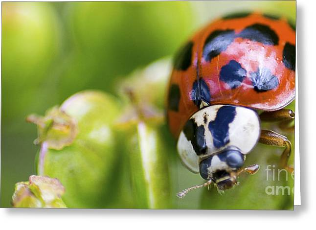 Bright Colors Pyrography Greeting Cards - Ladybug on a plant Greeting Card by Michael Bennett