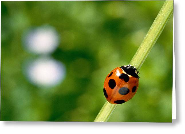 Zoology Greeting Cards - Ladybug On A Stem Greeting Card by Panoramic Images