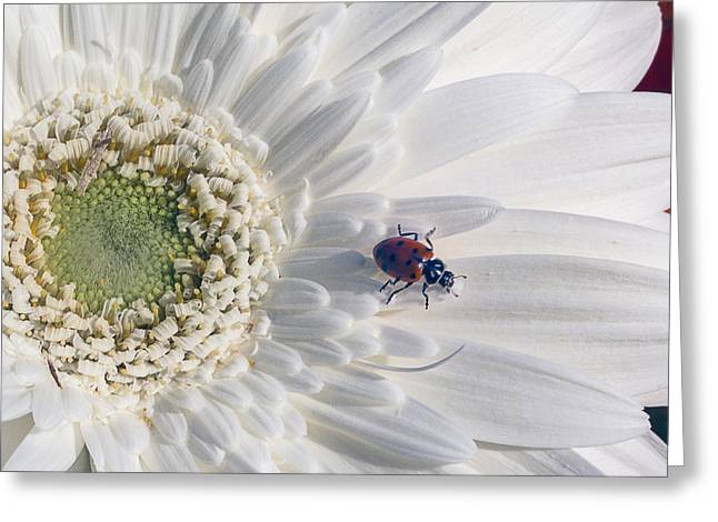 Ladybugs Greeting Cards - Ladybug On Daisy Petal Greeting Card by Garry Gay
