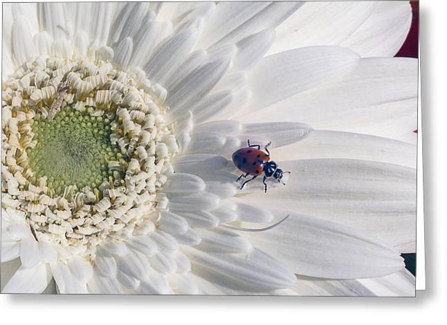 Lady Bug Greeting Cards - Ladybug On Daisy Petal Greeting Card by Garry Gay