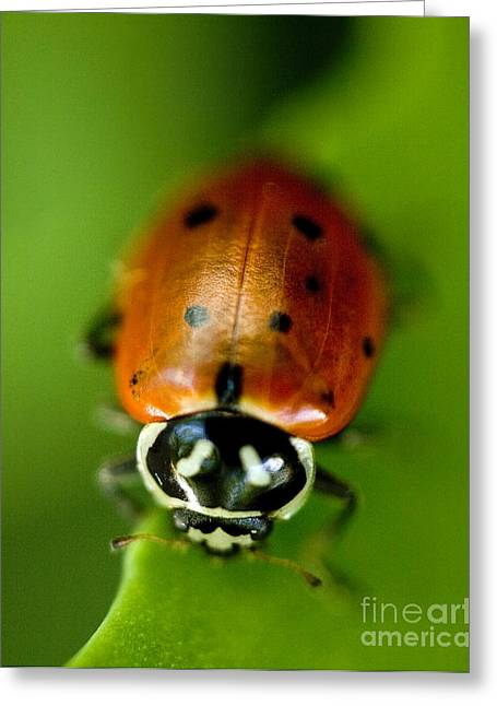 Red And Black Greeting Cards - Ladybug on Green Greeting Card by Iris Richardson
