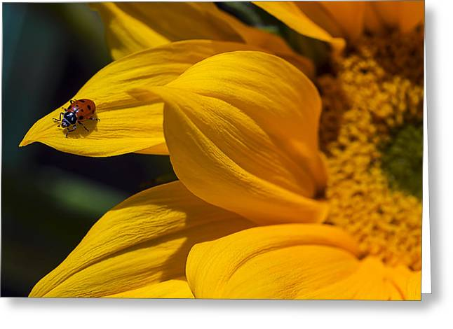 Ladybug On Sunflower Petal Greeting Card by Garry Gay
