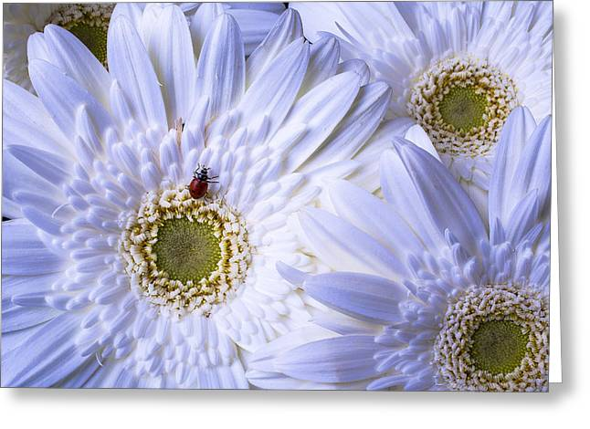 White Daises Greeting Cards - Ladybug On White Daisy Greeting Card by Garry Gay