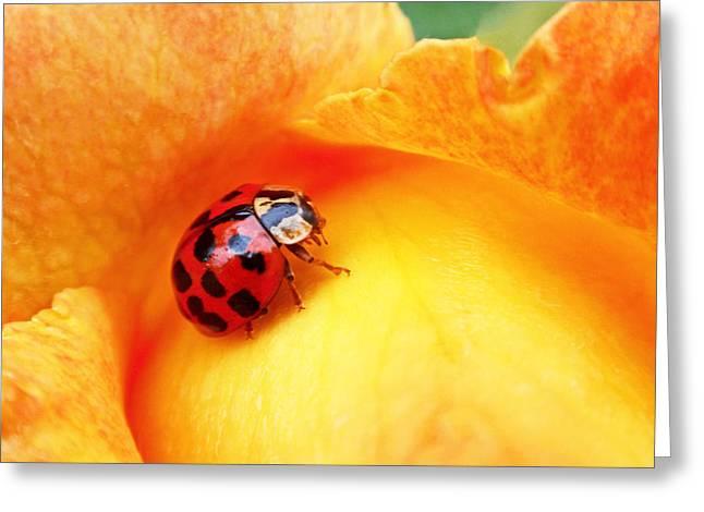 Rose Flower Greeting Cards - Ladybug Greeting Card by Rona Black