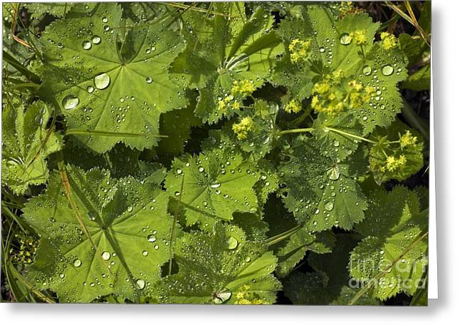 Ladys Greeting Cards - Ladys Mantle (alchemilla Mollis) Greeting Card by Dr Keith Wheeler