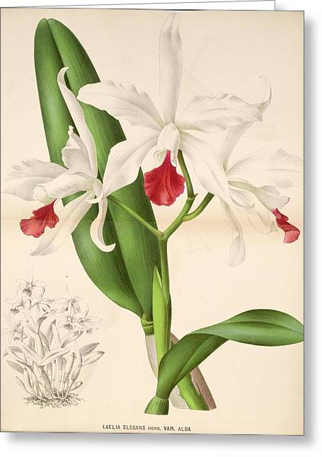 Office Plants Drawings Greeting Cards - Laelia Elegans Greeting Card by Philip Ralley