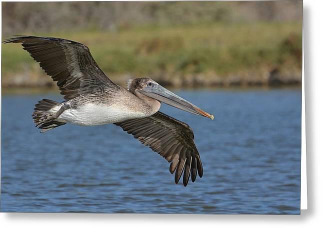 Pelican Landing Greeting Cards - Lagoon Landing Greeting Card by Fraida Gutovich