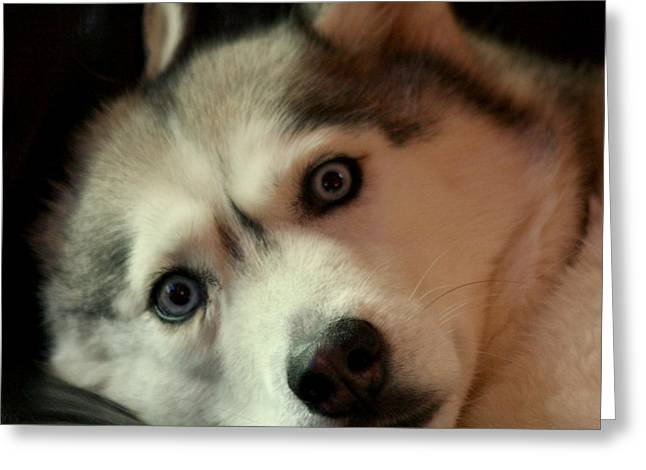 Huskies Photographs Greeting Cards - Laika Greeting Card by Art Block Collections