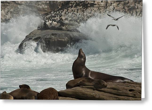 Sea Lions Greeting Cards - LaJolla Surf n Nature Preserve Greeting Card by Daniel Hebard