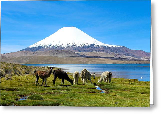 Alpacas Greeting Cards - Lake Chungara Chilean Andes Greeting Card by Kurt Van Wagner