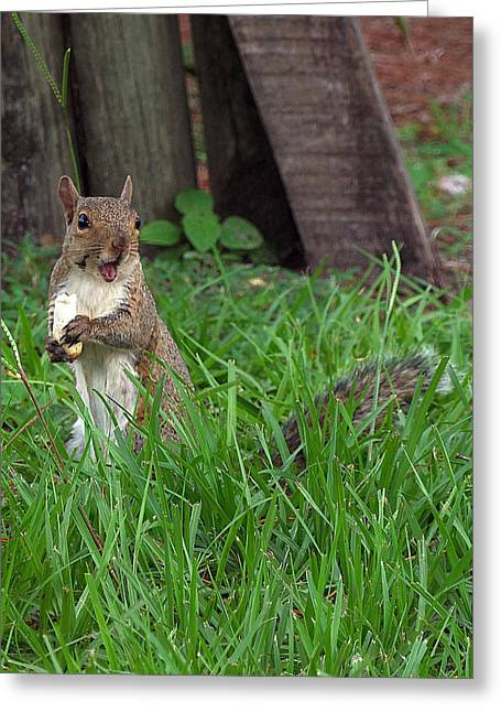 Sciurus Carolinensis Greeting Cards - Lake Howard Squirrel 000 Greeting Card by Chris Mercer