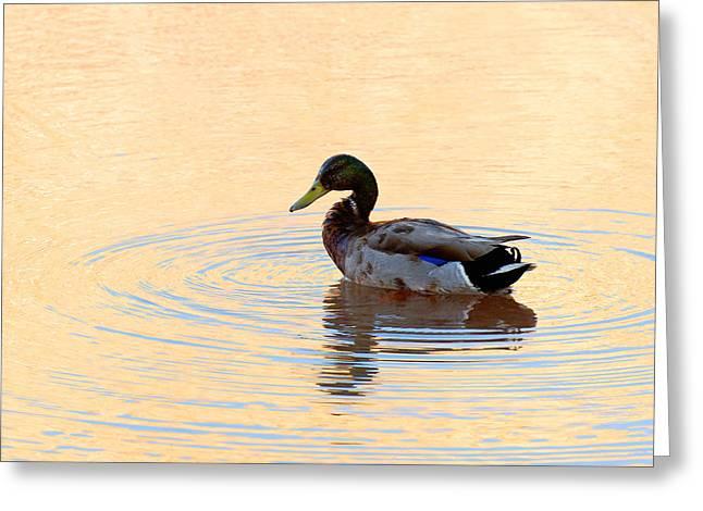Wildlife Art Metal Prints Greeting Cards - Lake Powell Duck Greeting Card by Julie Niemela