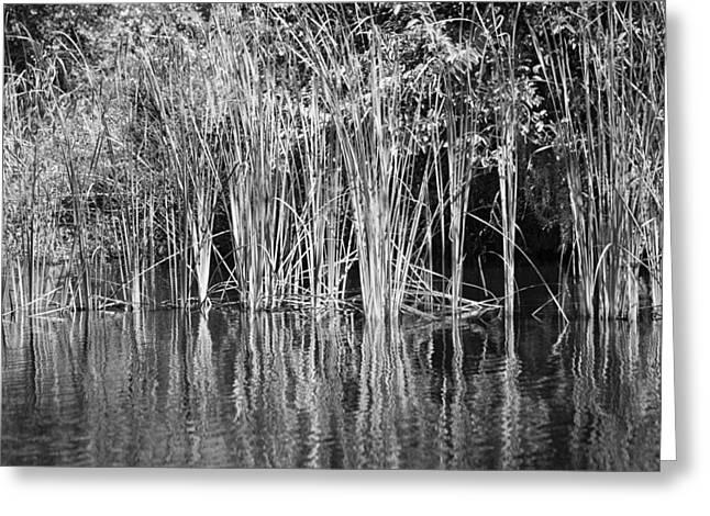 Florida Swamp Reflection Greeting Cards - Lake Trafford Reeds Greeting Card by Carolyn Marshall