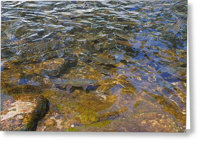 Creekbed Greeting Cards - Lake Trout Art Prints Rainbow Trout Photography Greeting Card by Baslee Troutman
