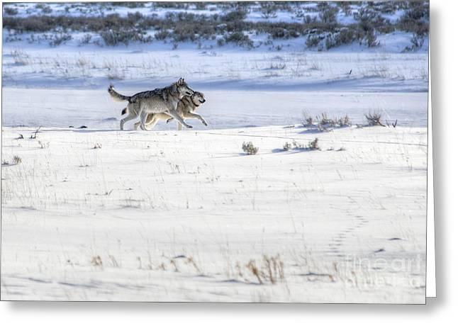 Lamar Canyon Wolves Greeting Card by Deby Dixon