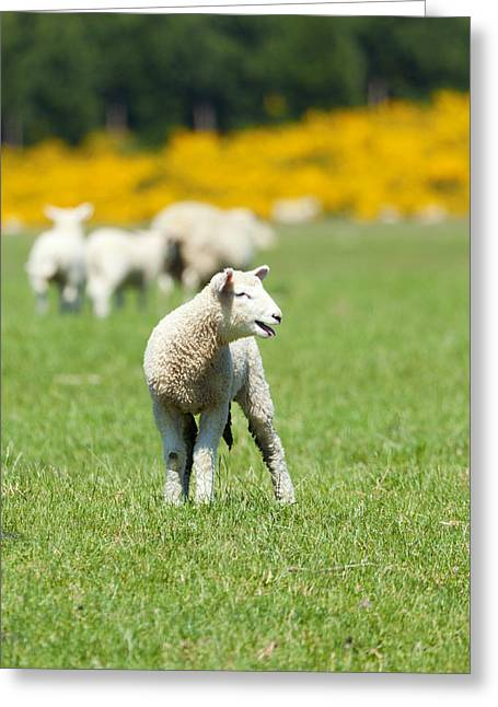 Open Land Greeting Cards - Lamb Greeting Card by Alexey Stiop