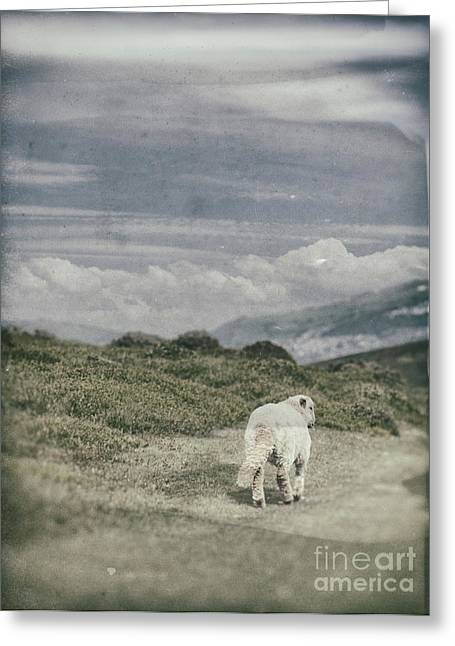 Lambs Greeting Cards - Lamb Greeting Card by Amanda And Christopher Elwell