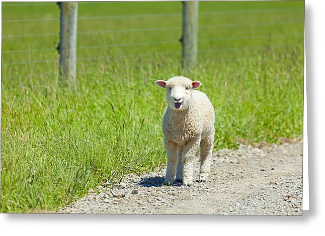 Gravel Road Greeting Cards - Lamb on the Lam Greeting Card by Alexey Stiop