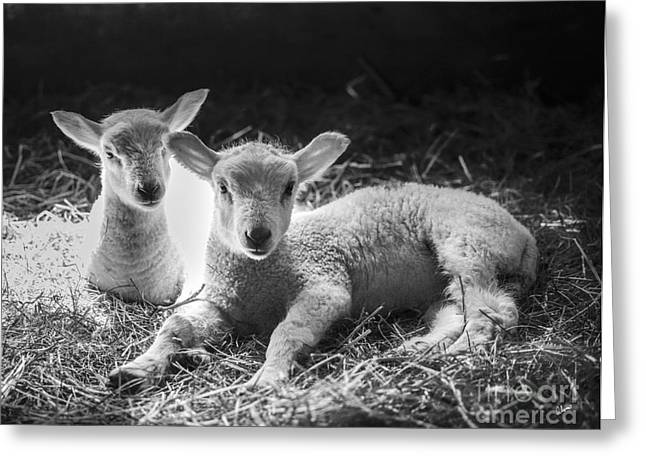 Barn Yard Greeting Cards - Lambs Greeting Card by Alana Ranney