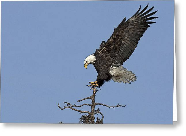 Eagle Greeting Cards - Landing Eagle- Abstract Greeting Card by Tim Grams