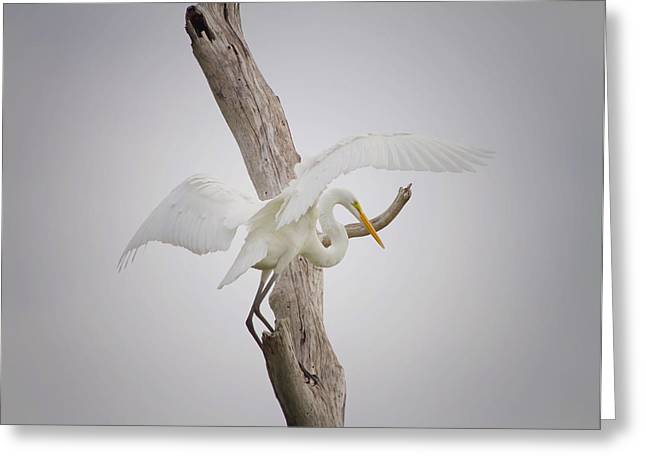 Great Egret Greeting Cards - Landing Greeting Card by Kim Hojnacki