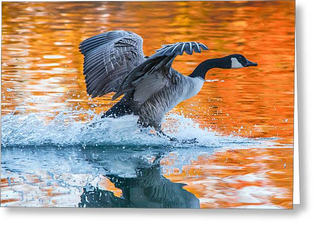 Canadian Geese Greeting Cards - Landing Greeting Card by Parker Cunningham