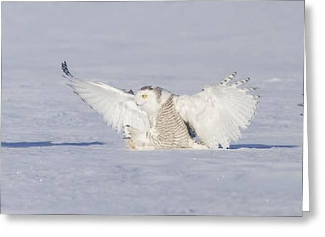 Landing Snowy Owl Greeting Card by Mircea Costina Photography