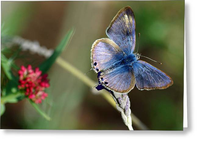 Love Bug Greeting Cards - Langs Short-tailed Blue Greeting Card by Meir Ezrachi