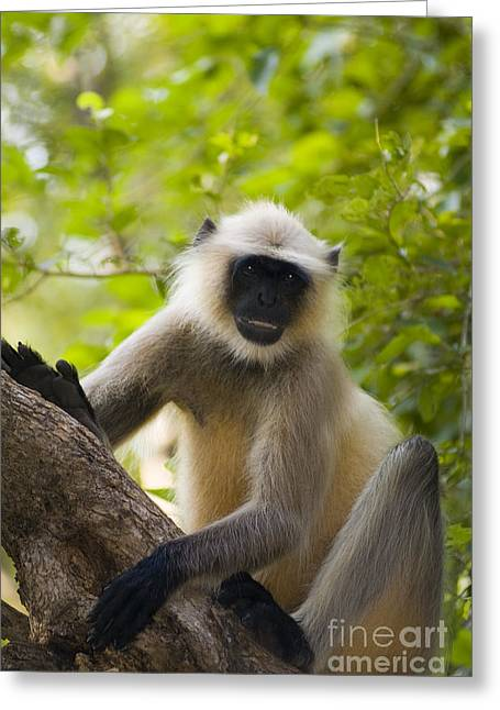 Asian Wildlife Greeting Cards - Langur Monkey Greeting Card by Bill Bachmann