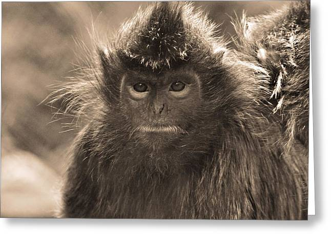 Gray Hair Greeting Cards - Langur Portrait Greeting Card by Dan Sproul