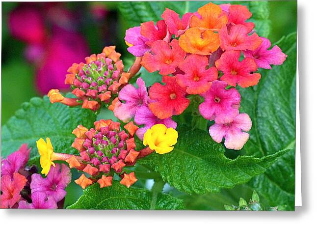 Red Flower Greeting Cards - Lantana Greeting Card by Rona Black