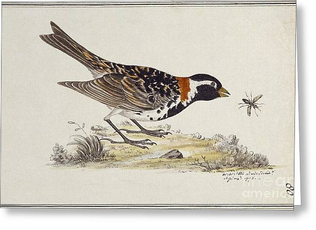 Captain America Greeting Cards - Lapland Longspur, 18th Century Greeting Card by Natural History Museum, London