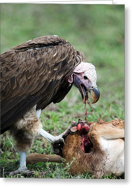 Animal Death Greeting Cards - Lappet-faced Vulture Torgos Greeting Card by Panoramic Images