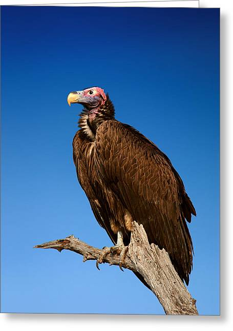 Outdoor Greeting Cards - Lappetfaced Vulture against blue sky Greeting Card by Johan Swanepoel