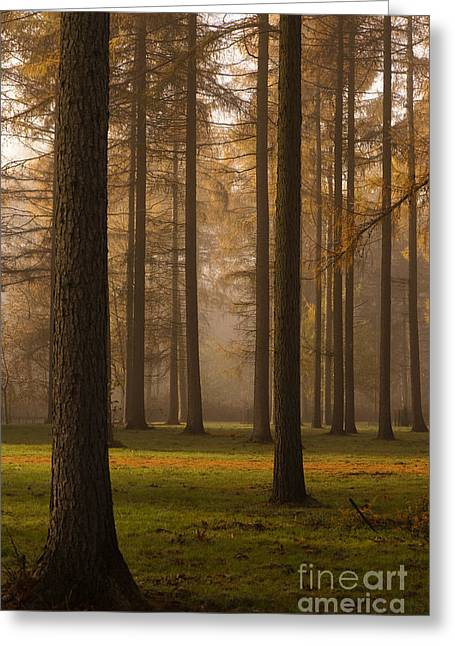Pinaceae Greeting Cards - Larch Grove Greeting Card by Anne Gilbert