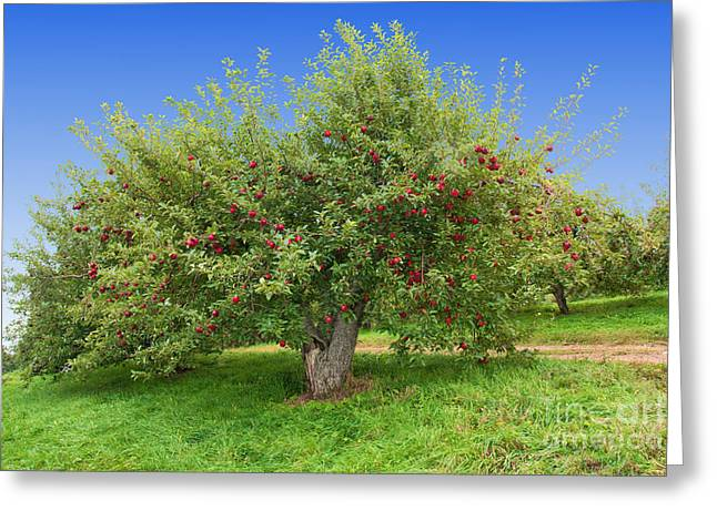 Apple Picking Greeting Cards - Large Apple Tree Greeting Card by Anthony Sacco