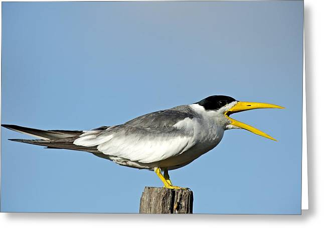 Tern Greeting Cards - Large-billed tern calling Greeting Card by Science Photo Library