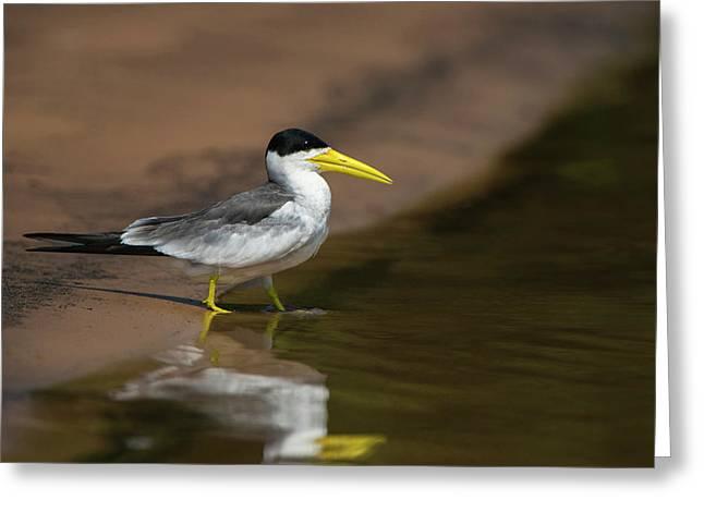 Large-billed Tern (phaetusa Simplex Greeting Card by Pete Oxford