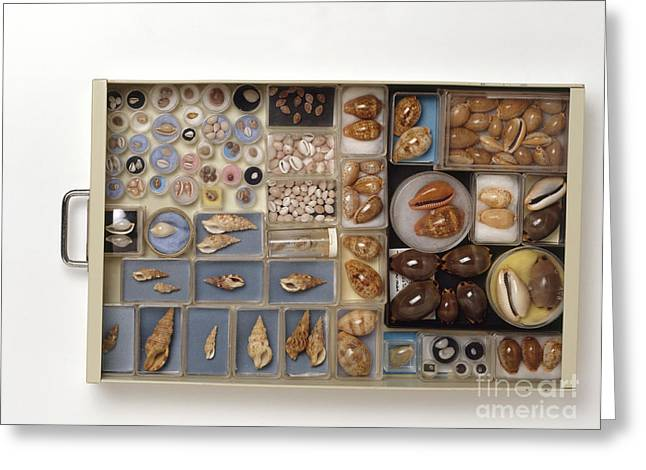 Large Scale Greeting Cards - Large Collection Of Shells In Drawer Greeting Card by Matthew Ward / Dorling Kindersley