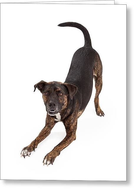 Beg Greeting Cards - Large Dog Bowing and Smiling Greeting Card by Susan  Schmitz