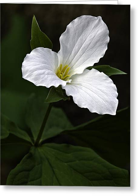 Flowered Greeting Cards - Large Flowered Trillium Greeting Card by Dale Kincaid