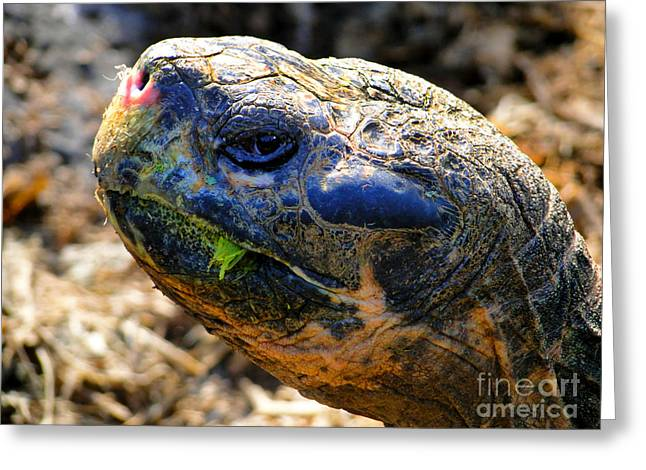 Tortuga Greeting Cards - Large Galapagos Giant Tortoise Greeting Card by Al Bourassa