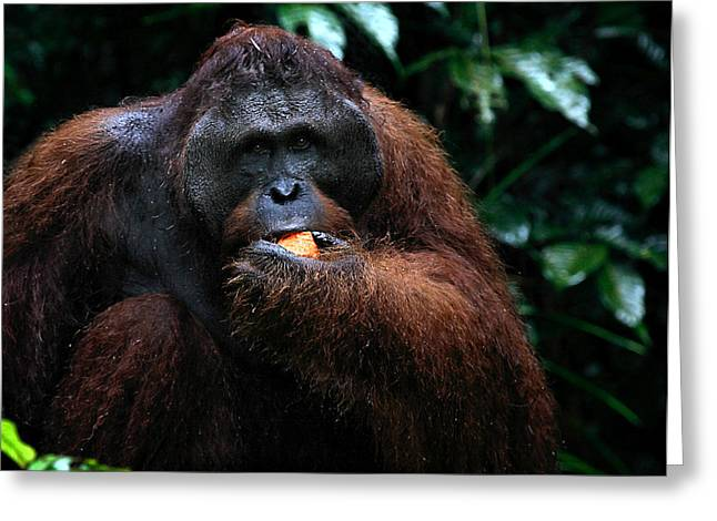 Nature Center Greeting Cards - Large Male Orangutan Borneo Greeting Card by Carole-Anne Fooks