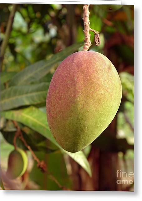 Mango Greeting Cards - Large Mango Fruit on Tree Greeting Card by Yali Shi